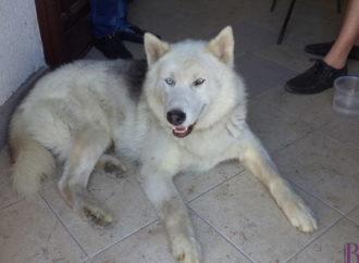 У Винниках загубився собака породи хаскі. Власника просять зголоситися