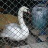 Працівники комунальної служби Винник врятували лебедя