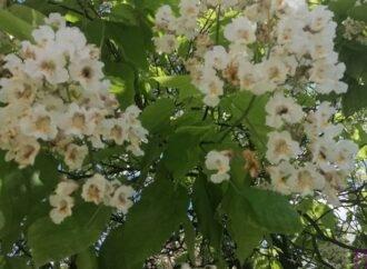 Протягом майже тридцяти років на подвір'ї СЗШ №29 цвіте «сигарне» дерево