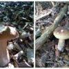Білі гриби у Винниківському лісі (відео)